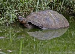 tortoise-1781-galapagos-copyright-photographers-on-safari-com