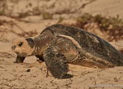 turtle-1785-galapagos-copyright-photographers-on-safari-com