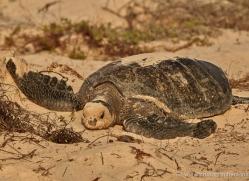 turtle-1786-galapagos-copyright-photographers-on-safari-com