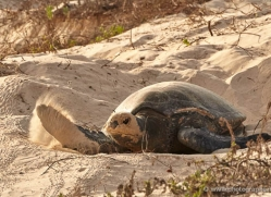 turtle-1787-galapagos-copyright-photographers-on-safari-com