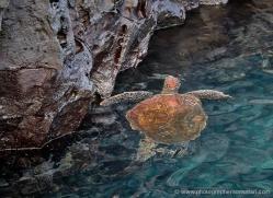 turtle-1788-galapagos-copyright-photographers-on-safari-com