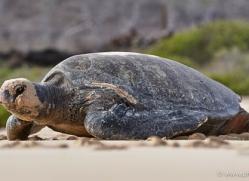 turtle-1790-galapagos-copyright-photographers-on-safari-com