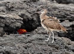 whimbrel-1892-galapagos-copyright-photographers-on-safari-com