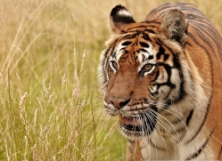 bangal-tiger-2556-hamerton-copyright-photographers-on-safari-com