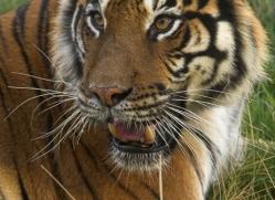bangal-tiger-2578-hamerton-copyright-photographers-on-safari-com