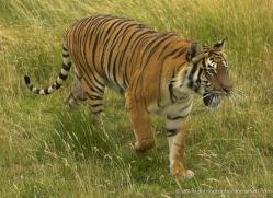 bangal-tiger-2585-hamerton-copyright-photographers-on-safari-com