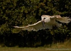barn-owl-2525-hamerton-copyright-photographers-on-safari-com