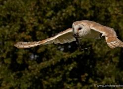 barn-owl-2529-hamerton-copyright-photographers-on-safari-com