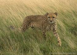 cheetah-2505-hamerton-copyright-photographers-on-safari-com