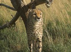 cheetah-2512-hamerton-copyright-photographers-on-safari-com
