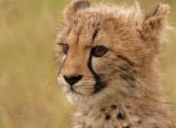 cheetah-cub-2493-hamerton-copyright-photographers-on-safari-com
