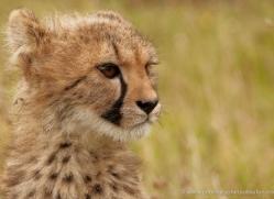 cheetah-cub-2494-hamerton-copyright-photographers-on-safari-com