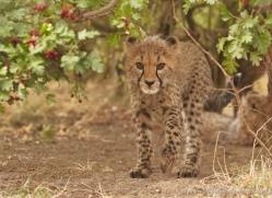 cheetah-cub-2495-hamerton-copyright-photographers-on-safari-com
