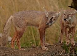 corsac-fox-2513-hamerton-copyright-photographers-on-safari-com