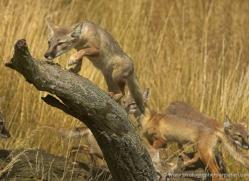 corsac-fox-2521-hamerton-copyright-photographers-on-safari-com