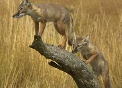 corsac-fox-2524-hamerton-copyright-photographers-on-safari-com