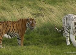 white-tiger-wolf-2542-hamerton-copyright-photographers-on-safari-com