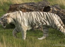 white-tiger-wolf-2546-hamerton-copyright-photographers-on-safari-com