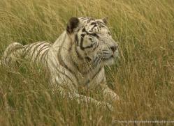 white-tiger-wolf-2547-hamerton-copyright-photographers-on-safari-com