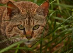 Asian Wildcat 2014-2copyright-photographers-on-safari-com