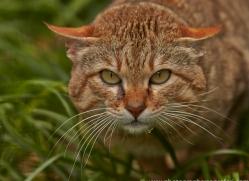 Asian Wildcat 2014-3copyright-photographers-on-safari-com
