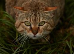 Asian Wildcat 2014-4copyright-photographers-on-safari-com
