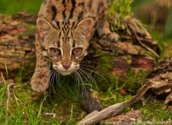 Leopard Cat 2014-5copyright-photographers-on-safari-com