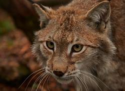 Lynx 2014-13copyright-photographers-on-safari-com