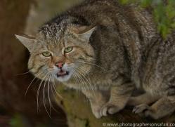 Scottish Wildcat 2014-1copyright-photographers-on-safari-com