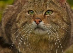 Scottish Wildcat 2014-4copyright-photographers-on-safari-com