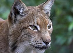 lynx-3021-hertfordshire-copyright-photographers-on-safari-com