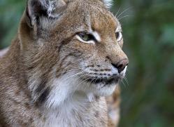 lynx-3022-hertfordshire-copyright-photographers-on-safari-com