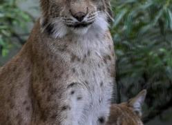 lynx-3024-hertfordshire-copyright-photographers-on-safari-com