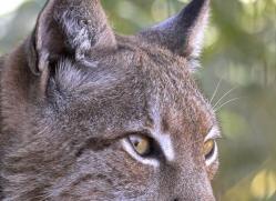 lynx-3025-hertfordshire-copyright-photographers-on-safari-com