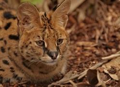 serval-2994-hertfordshire-copyright-photographers-on-safari-com