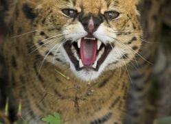 serval-3000-hertfordshire-copyright-photographers-on-safari-com