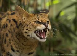 serval-3003-hertfordshire-copyright-photographers-on-safari-com