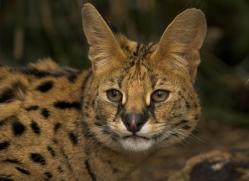 serval-3005-hertfordshire-copyright-photographers-on-safari-com