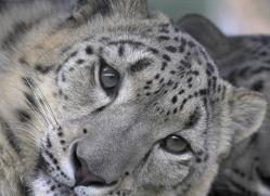 snow-leopard-3033-hertfordshire-copyright-photographers-on-safari-com
