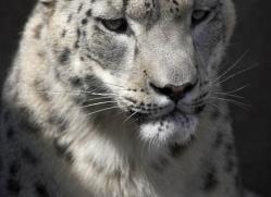 snow-leopard-3034-hertfordshire-copyright-photographers-on-safari-com