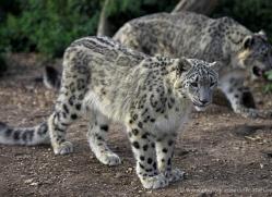 snow-leopard-3035-hertfordshire-copyright-photographers-on-safari-com