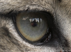 snow-leopard-3038-hertfordshire-copyright-photographers-on-safari-com