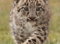snow-leopard-cub3043-hertfordshire-copyright-photographers-on-safari-com