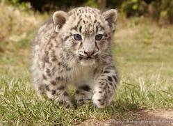 snow-leopard-cub3047-hertfordshire-copyright-photographers-on-safari-com