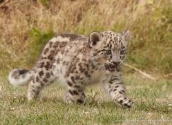 snow-leopard-cub3051-hertfordshire-copyright-photographers-on-safari-com
