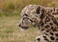 snow-leopard-cub3052-hertfordshire-copyright-photographers-on-safari-com