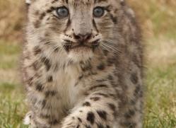 snow-leopard-cub3055-hertfordshire-copyright-photographers-on-safari-com
