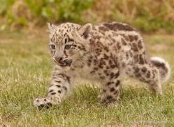 snow-leopard-cub3059-hertfordshire-copyright-photographers-on-safari-com
