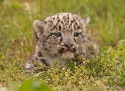 snow-leopard-cub3060-hertfordshire-copyright-photographers-on-safari-com