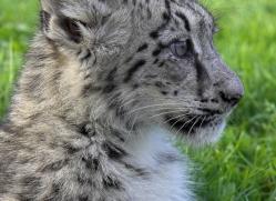 snow-leopard-cub3073-hertfordshire-copyright-photographers-on-safari-com